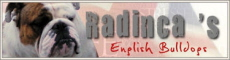 Radincas, English bulldog breeder in Netherlands or Nederlands ou Pays-bas ou La Hollande
