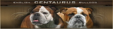 centaurus-English-bulldog-kennel English bulldog puppies in Poland ou Pologne or polish