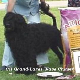 Portuguese water dog : CH Grand-Lares Wave Chaser