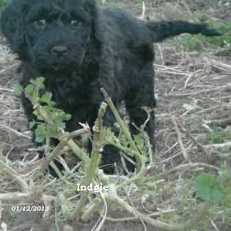 puppies portuguese water dog