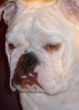 My english bulldog : Once click to see marching my history
