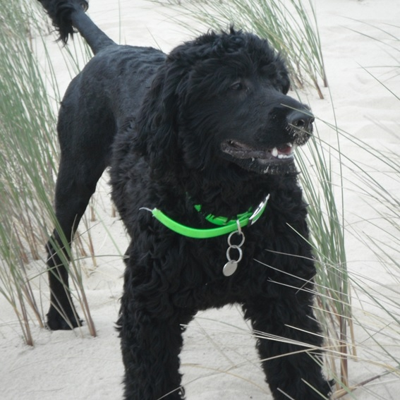 portuguese water dog at stud