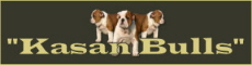 kasanbulls English bulldog breeder in Netherlands