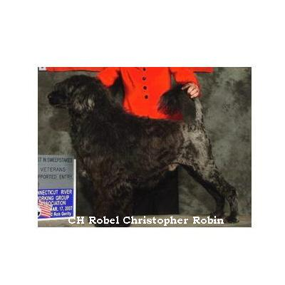Portuguese water dog : CH Robel Christopher Robin